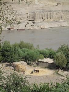 Thrashing wheat with oxen in Jomarji Bolo, Afghanistan. Tajikistan on other side of the Amu Darya River.